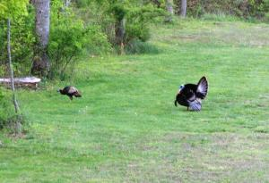 Turkeys 2
