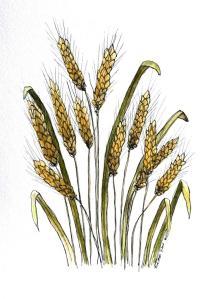 wheat_4678