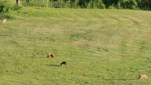 4 coyote pups!